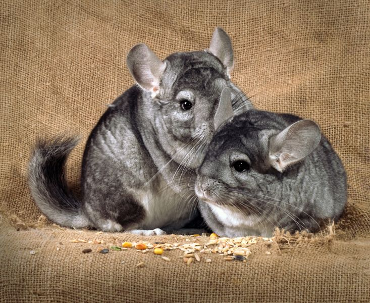 Chinchilla - Pets on Company