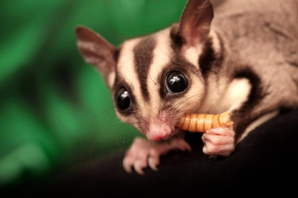 Some Reasons Why Sugar Glider Prices Are Fairly Low for an Exotic Pet