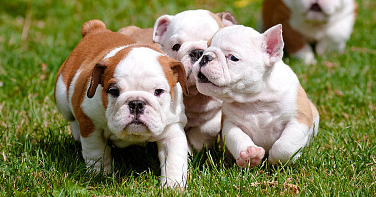 Things to Consider When Selecting a Purebred or Designer Puppy For a Pet