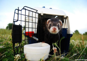 One Ferret Carrier is Good, Two Are Better