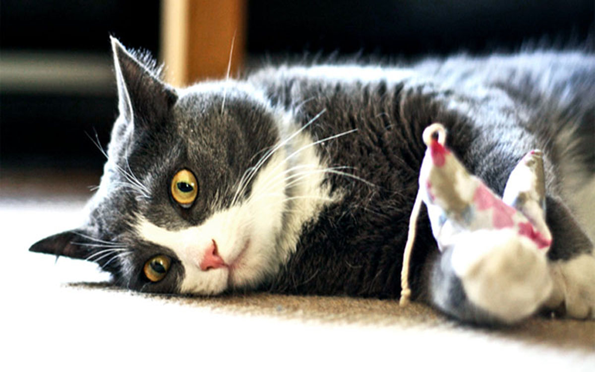 Health Issues You Can Prevent With CBD Oil Cat Treats