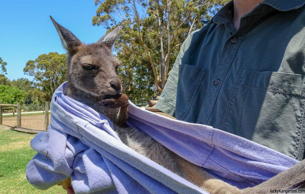 Can You Have a Pet Kangaroo?