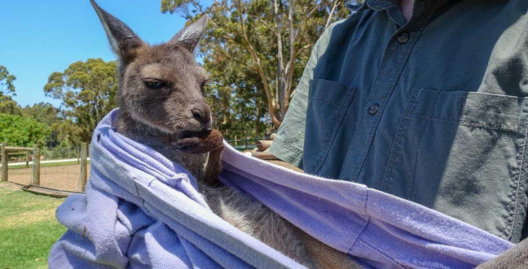 Can You Have a Pet Kangaroo?