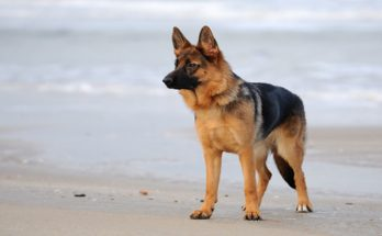What German Shepherd Owners Want You to Know