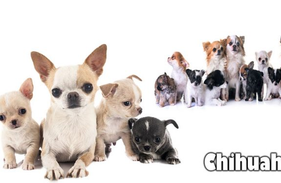 What Happened to your Chihuahua? A Compact Dog Rescue Update